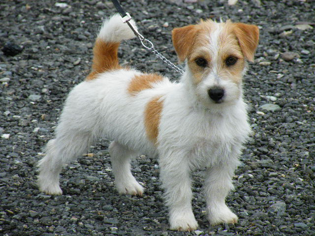 Fci Jack Russell Akc Russell Terriers Pratsals Pitchica